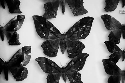 black-and-white-butterflies-butterfly-death-photo-blacksheep.rs